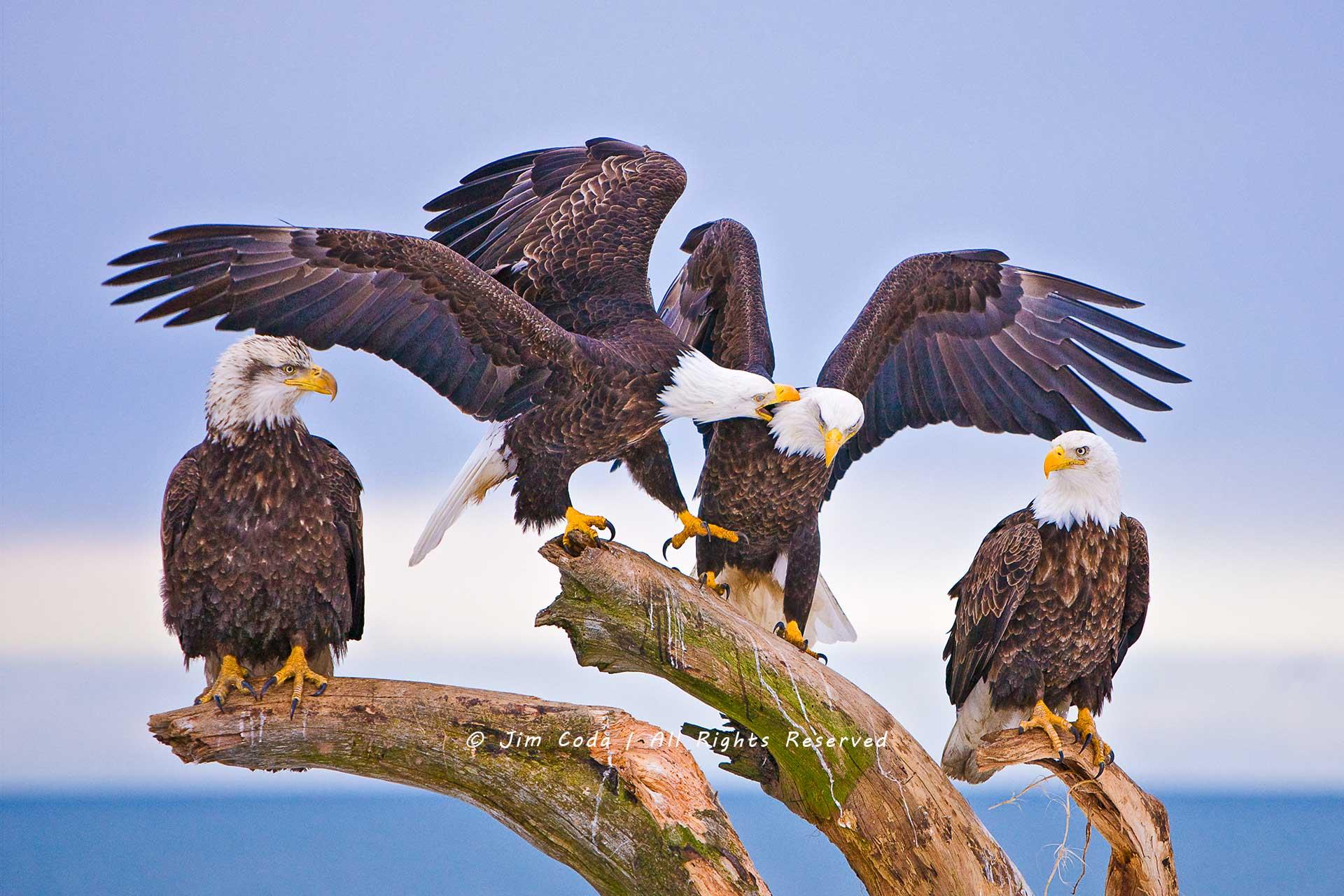Bald Eagles, Kachemak Bay, Alaska