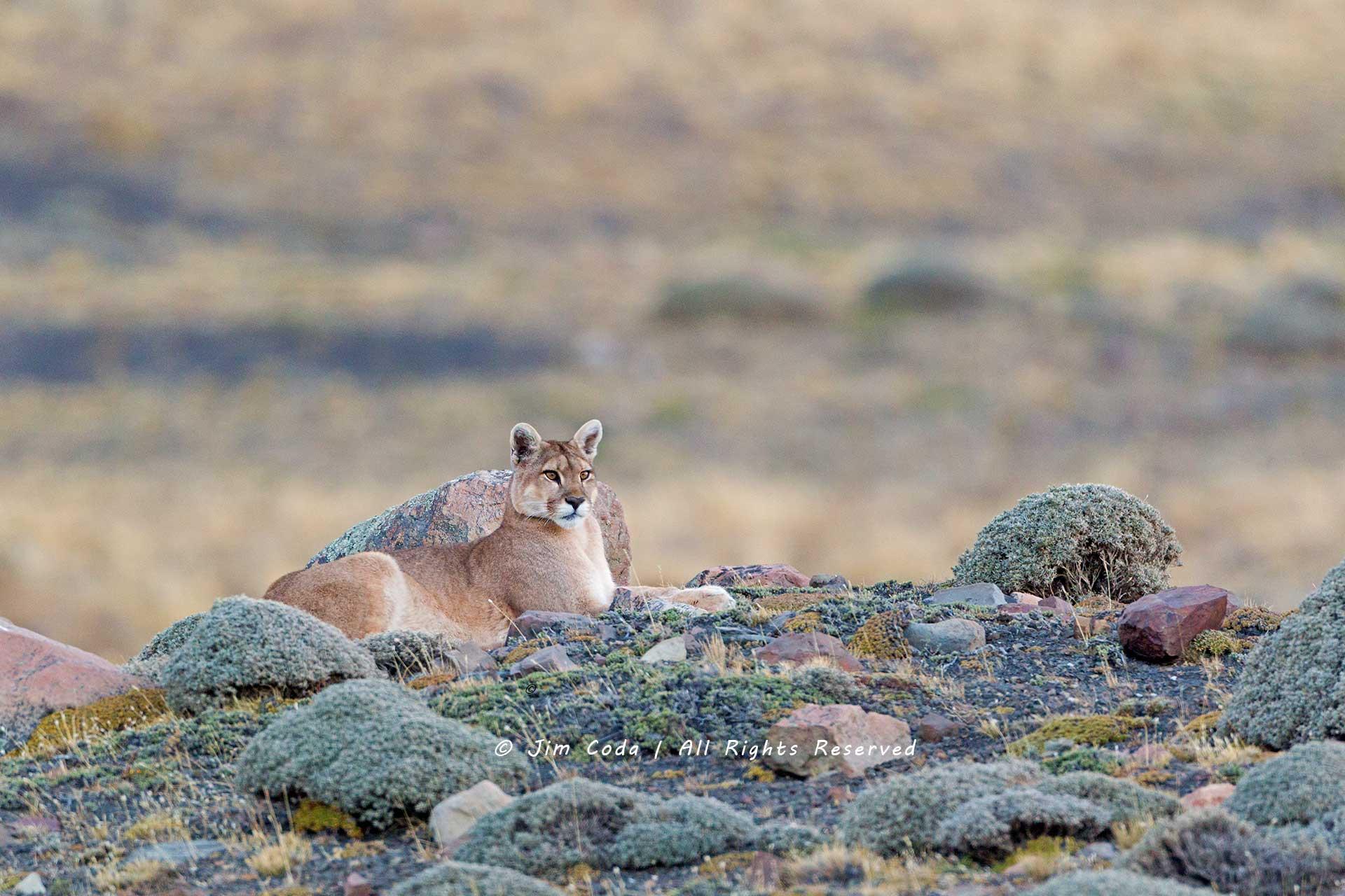 mountain lion, puma, south america, chile, patagonia